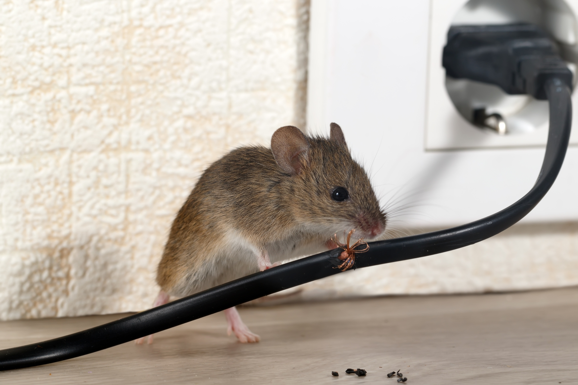 Mice Infestation, Pest Control in Wembley, Alperton, Sudbury, HA0. Call Now 020 8166 9746