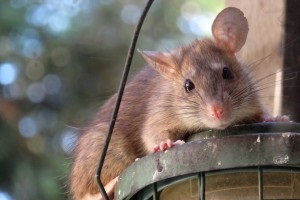 Rat extermination, Pest Control in Wembley, Alperton, Sudbury, HA0. Call Now 020 8166 9746