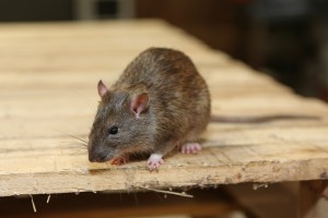Rodent Control, Pest Control in Wembley, Alperton, Sudbury, HA0. Call Now 020 8166 9746